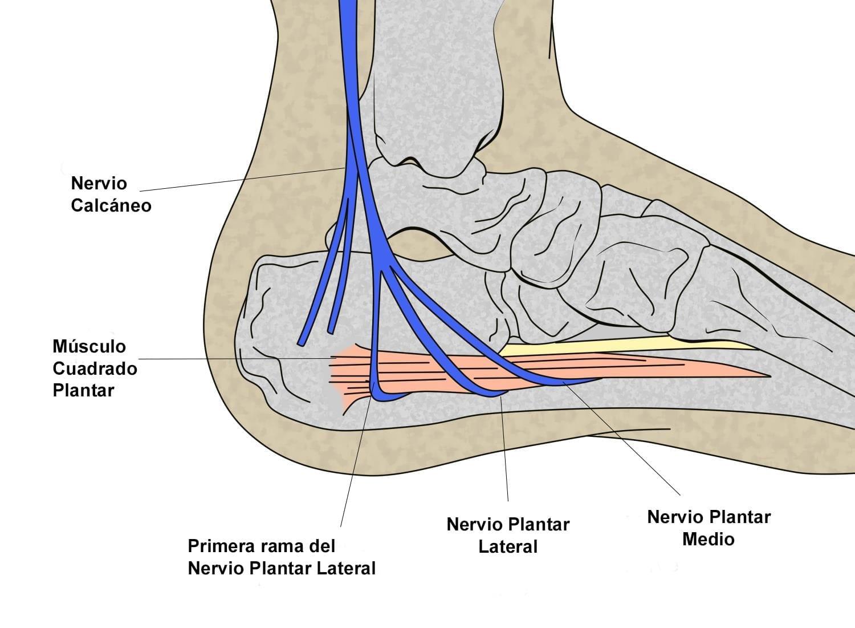 Ramas del nervio tibial posterior en la zona posteromedial del tobillo. compresión del nervio de Baxter
